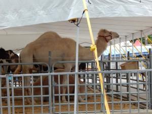 Circus Flora camel